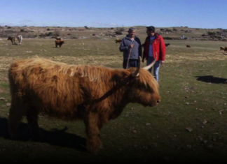 Vacas Highlands en Avila