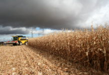 Cosechando maíz