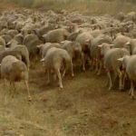 Rebaño ovejas
