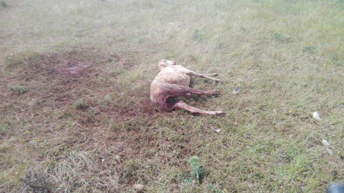 Oveja muerta en Cespedosa por el ataque de los buitres.