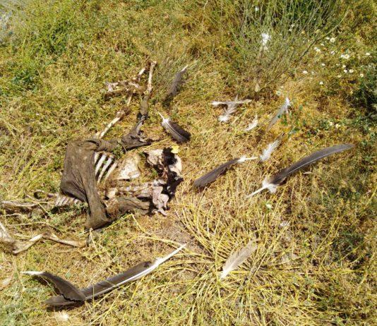 ASAJA Salamanca alerta de un nuevo ataque de buitres a animales vivos