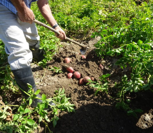 Un agricultor, sacando patatas en la provincia de Salamanca. FOTO: ASAJA Salamanca.