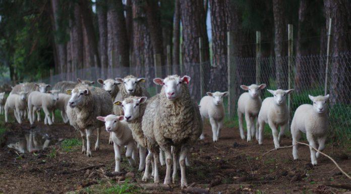 El ovino registra bajadas continuas en la leche.