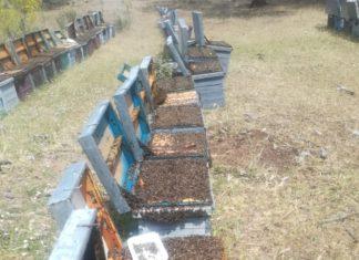 Abejas asfixiadas del apicultor salmantino Bernabé Gutiérrez..