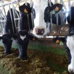 Explotación de vacas de leche en Alaraz, Salamanca. FOTO VGA