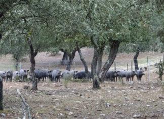 Una explotación de cerdo ibérico, en Ciudad Rodrigo, Salamanca. FOTO: VGA