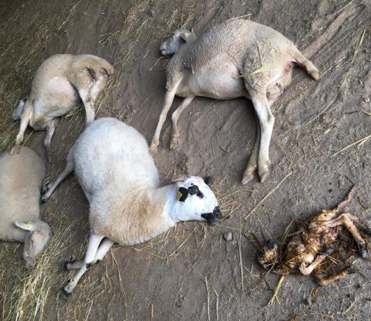 Ovejas muertas por el ataque lobo en Barreras.