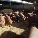 Cerdos ibéricos, en una explotación salmantina. FOTO: Verónica G. Arroyo