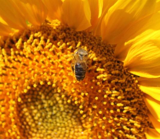 Una abeja, polinizando en girasol.