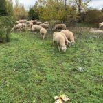 Ejemplares de ovino, en la provincia de Salamanca.