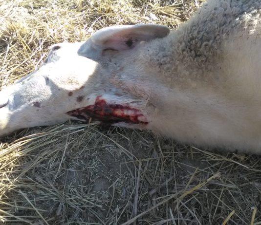 Ataque de lobo en Villasbuenas. FOTO: ASAJA Salamanca