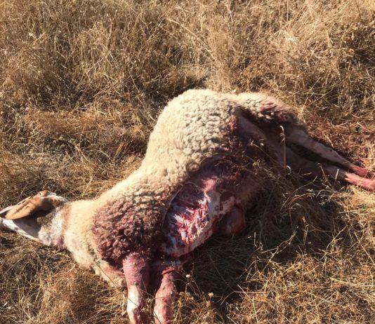 Oveja muerta por lobo en Hinojosa el 3 de septiembre de 2020.