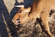 Vaca muerta por buitre. Bercimuelle.