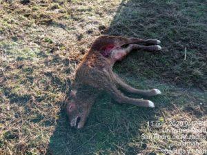 Ternero muerto, descubierto el 11 de noviembre, en San Pedro de los Rozados.