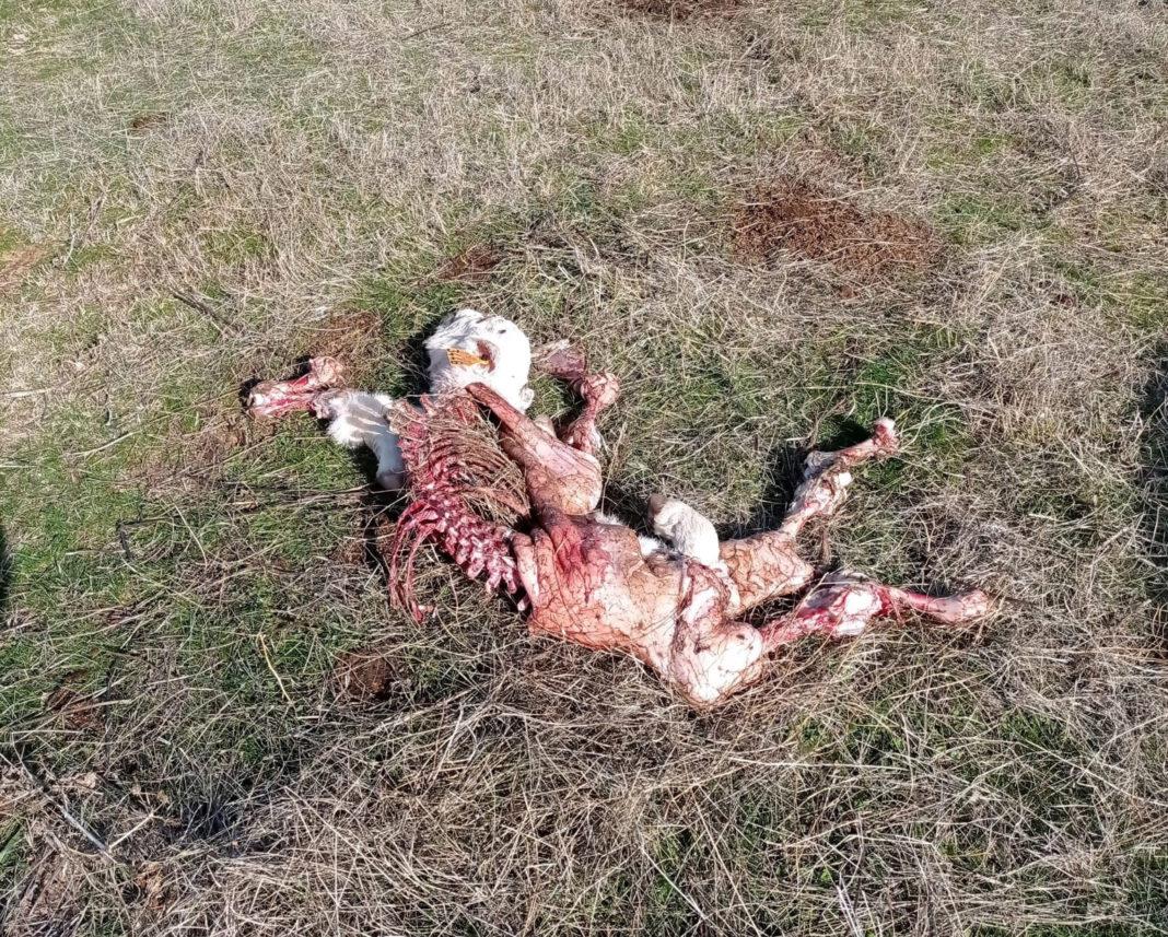 Ternero muerto, descubierto el 10 de noviembre, en San Pedro de los Rozados.