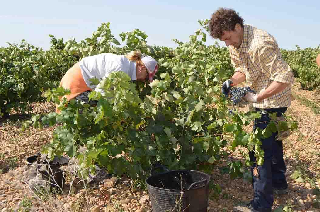 ASAJA Valladolid insiste en que los precios de la uva deben ir al alza