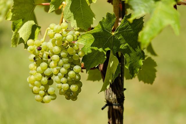 El 25 de marzo finaliza el plazo para contratar el Seguro de Primavera de Uva de Vino con cobertura frente a la helada