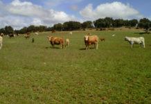 Vacas extensivo