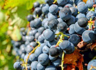 El 20 de diciembre finalizan los periodos de suscripción de uva de vino y cultivos herbáceos.JPEG