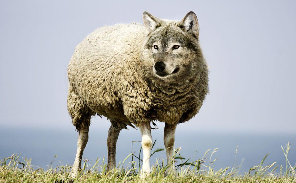ASAJA pide a bruselas que no permita que la expansión del lobo