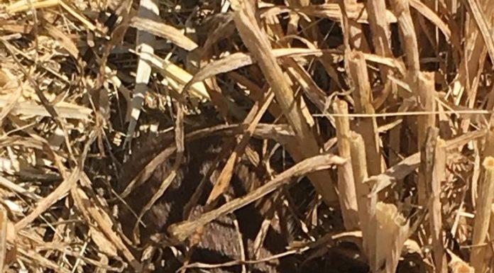 topillo en cultivo