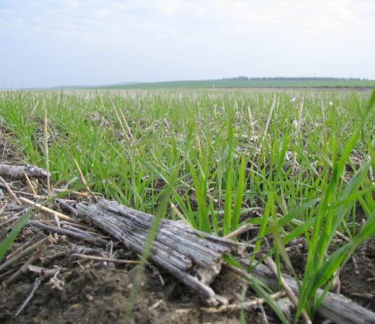 Agricultura de conservación sobre restos de girasol