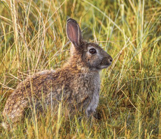 ASAJA VALLADOLID considera poco rigurosa la declaración del conejo como especie en peligro de extinción