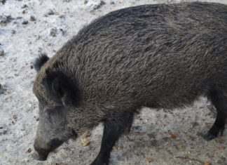 ASAJA VALLADOLID pide de manera urgente a la Junta de Castilla y León permisos excepcionales para cazar jabalíes