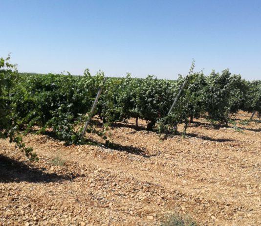 ASAJA VALLADOLID urge la prohibición del riego del viñedo en la D.O. Rueda