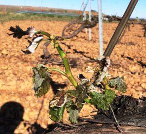 Las heladas dan la puntilla a un campo que afrontará mayo sediento y con muy malas perspectivas de cosecha