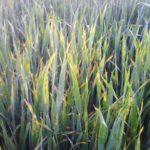 La falta de agua y las enfermedades hacen temer a los agricultores de Castilla y León por la cosecha de cereal
