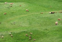 La imagen de rebecos pastando entre las vacas demuestra que la sanidad debe de ser única