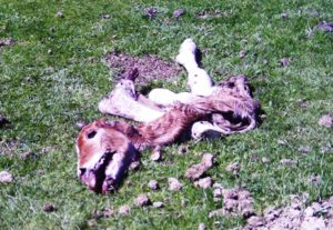 ASAJA pide que la Administración asuma como daño patrimonial el que cause el lobo al ganado en cualquier punto de Castilla y León