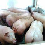 Con el frío llega la 'matanza' del cerdo a los pueblos