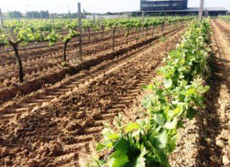 ASAJA pide que los fondos europeos para reforzar el sector del vino repercutan también en los viticultores