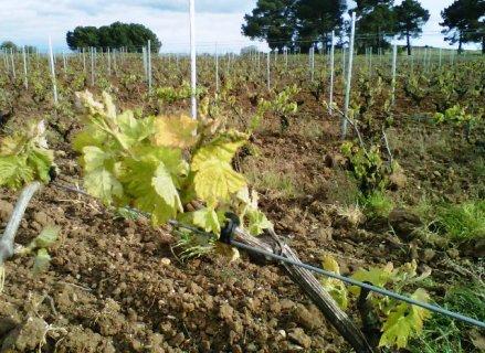 Los derechos de viñedo de la Reserva Regional se asignarán por primera vez