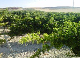 Más dinero pero también más requisitos en la nueva convocatoria de las ayudas a planes de viñedo