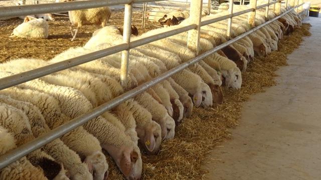 Desánimo en el sector ovino tras varios meses  de caídas consecutivas en el precio de la leche
